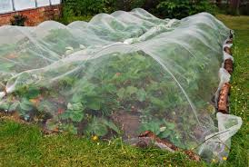 covering plants to protect against frost