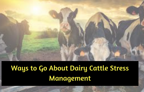 Ways To Go About Dairy Stress Management