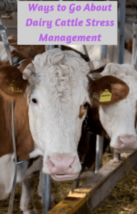 Ways to Go About Dairy Cattle Stress Management