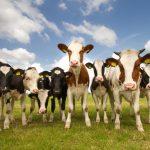 heat stress cows