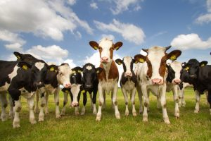 Dairy Cattle Stress Management